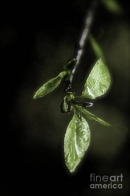 Photograph - Early Spring Leaves by Jill Smith