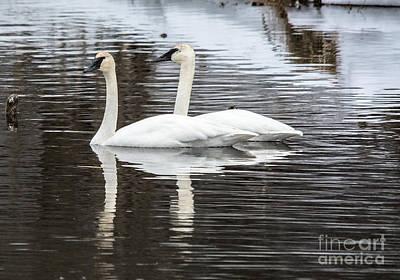 Beastie Boys - Early Spring Swans by Cheryl Baxter