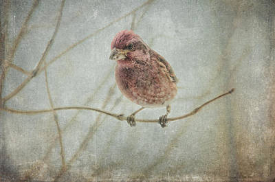 Finch Wall Art - Photograph - Early Spring Visitor by Susan Capuano