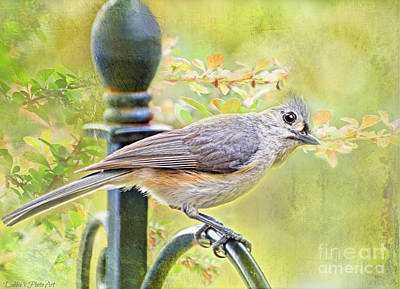 Tufted Titmouse Photograph - Early Summer Tufted Titmouse  by Debbie Portwood