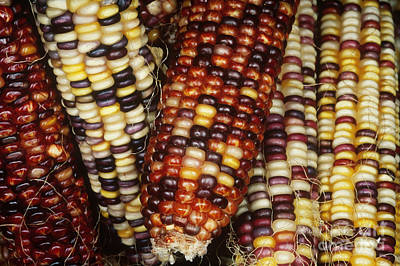 Ears Of Corn Photograph - Ears Of Indian Corn by Gregory G. Dimijian, M.D.