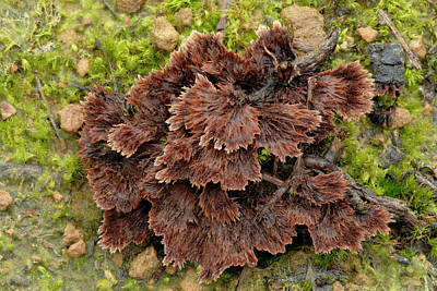 Fruiting Body Photograph - Earth-fan Fungus (thelephora Terrestris) by Nigel Downer