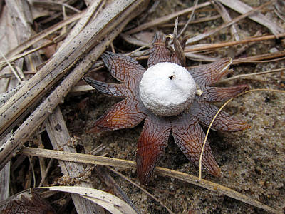 Photograph - Earthstar by Robin Street-Morris