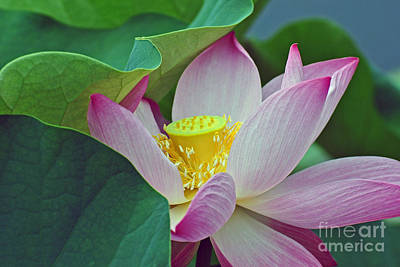 Photograph - East Indian Lotus by Scott D Welch