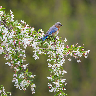 Photograph - Eastern Bluebird Square by Bill Wakeley