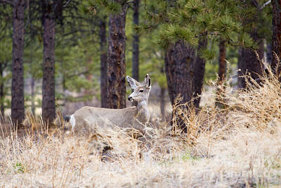 Steven Krull Royalty-Free and Rights-Managed Images - Easter Doe by Steven Krull