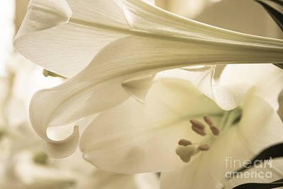 Photograph - Easter Lilies by Chris Scroggins