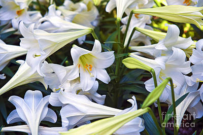 Photograph - Easter Lilies In All Their Glory by David Zanzinger