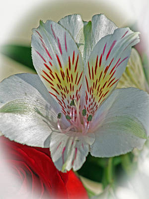 Photograph - Easter Lily by Karen Adams