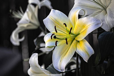 Art Print featuring the photograph Easter Lily On Black by Dave Garner