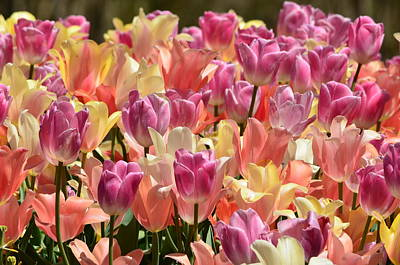 Ally Photograph - Easter Tulips by Ally  White