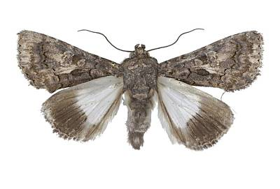 Eastern Alchymist Moth Print by Science Photo Library