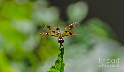 Photograph - Eastern Amberwing  Male by Donna Brown