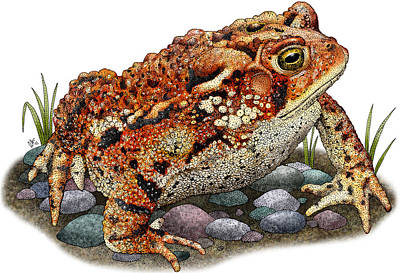 Photograph - Eastern American Toad by Roger Hall