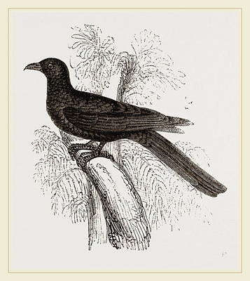 Cuckoo Drawing - Eastern Black Cuckoo by Litz Collection