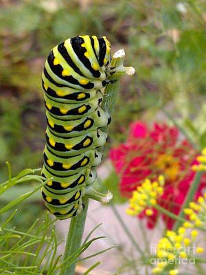 Photograph - Eastern Black Swallowtail Caterpillar On Fennel by Anna Lisa Yoder