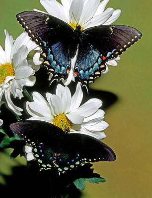 Photograph - Eastern Black Swallowtail Pair by Millard H Sharp