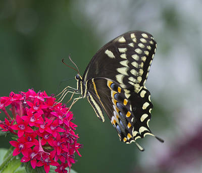 Photograph - Eastern Black Swallowtail by Sean Allen