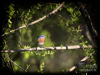 Eastern Blue Bird At Sunrise Art Print by Cris Hayes