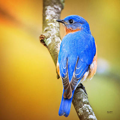 Photograph - Eastern Blue Bird Of Spring by Steven Llorca