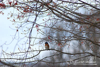 Photograph - Eastern Bluebird 20120409_125a by Tina Hopkins