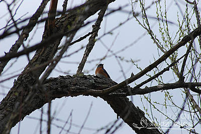 Photograph - Eastern Bluebird 20120409_152a by Tina Hopkins