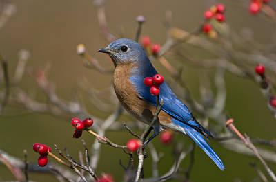 Eastern Bluebird - 2531 Art Print