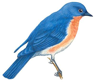Horizontal Drawing - Eastern Bluebird by Anonymous
