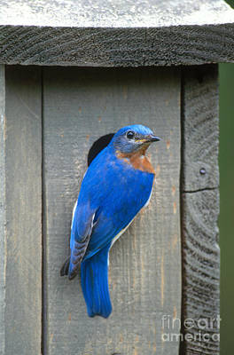 Photograph - Eastern Bluebird At Nest by Paul J Fusco