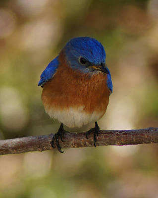 Charlotte Framed Photograph - Eastern Bluebird by B Wayne Mullins