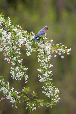 Bluebird Photograph - Eastern Bluebird by Bill Wakeley