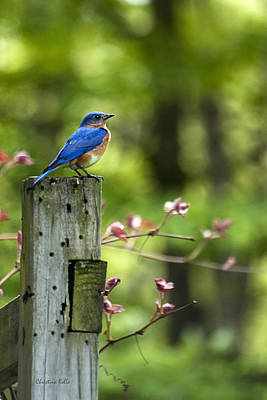 Photograph - Eastern Bluebird by Christina Rollo