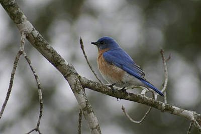 Photograph - Eastern Bluebird by CE Haynes
