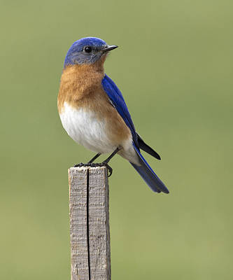 Eastern Bluebird Art Print by David Lester