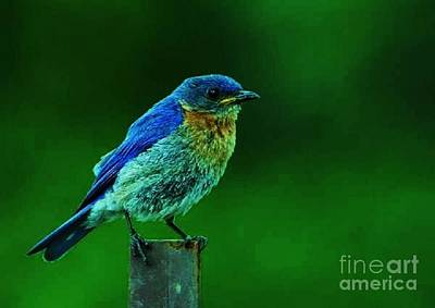 Photograph - Eastern Bluebird by Diane Kurtz