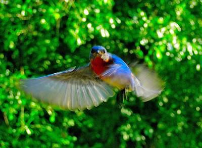 Eastern Bluebird In Flight Art Print