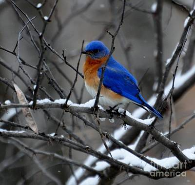Photograph - Eastern Bluebird In Kentucky Winter by Maureen Cavanaugh Berry