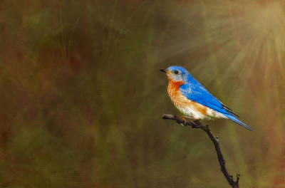 Digital Art - Eastern Bluebird In The Prairies by Susan Candelario