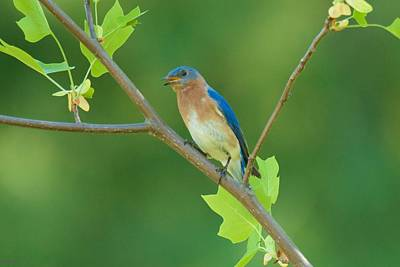 Photograph - Eastern Bluebird In Tulip Tree by Kristin Hatt