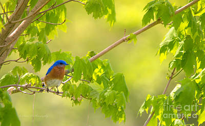 Photograph - Eastern Bluebird by Rima Biswas