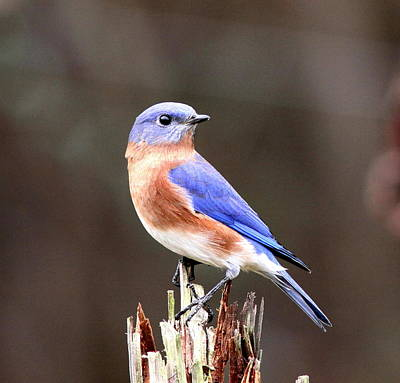 Eastern Bluebird - The Old Fence Post Art Print