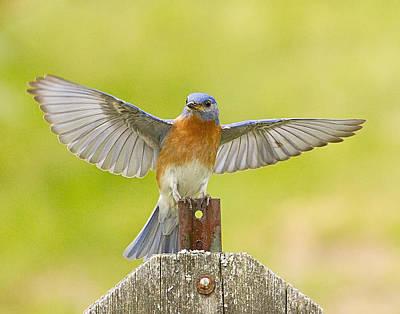 Photograph - Eastern Bluebird Wing Spread by John Vose
