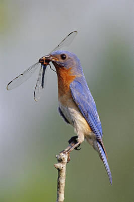 Photograph - Eastern Bluebird With Dragonfly by Millard H. Sharp