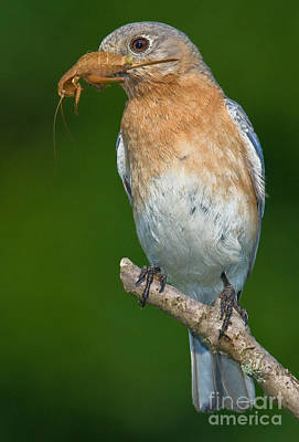 Art Print featuring the photograph Eastern Bluebird With Katydid by Jerry Fornarotto
