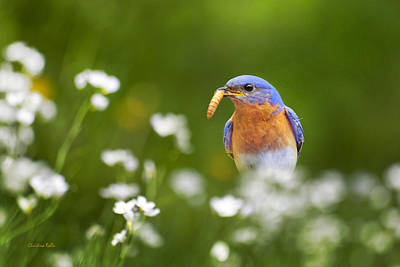 Rollos Photograph - Eastern Bluebird With Worm by Christina Rollo
