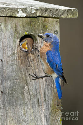 Hungry Chicks Photograph - Eastern Bluebirds by Anthony Mercieca