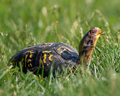 Box Turtle Photograph - Eastern Box Turtle by Bill Wakeley