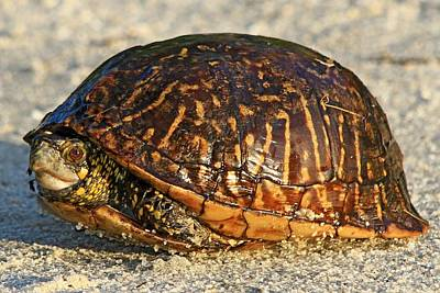 Photograph - Eastern Box Turtle by Ira Runyan