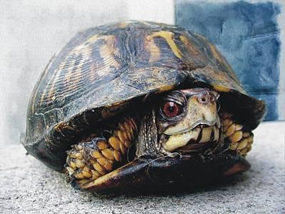 Photograph - Eastern Box Turtle by Joe Duket