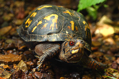 Eastern Box Turtle Art Print by Michael Eingle
